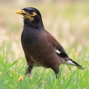 Common Myna Square
