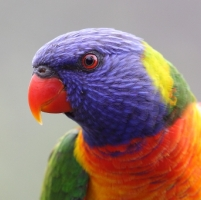 Rainbow Lorikeet_Jells_Dec13_MG_7111