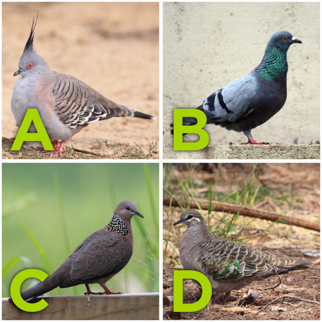 A grid of 4 photos - each a different type of pigeon/dove