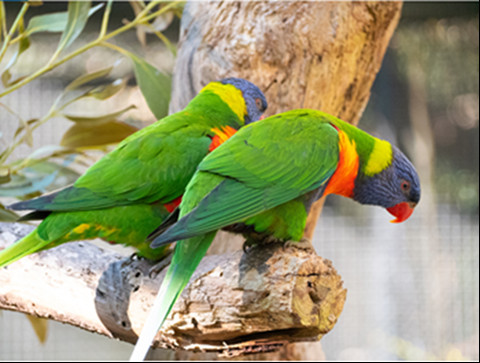 Two Rainbow Lorikeets standing side by side on a branch. Both are facing to the right and looking down